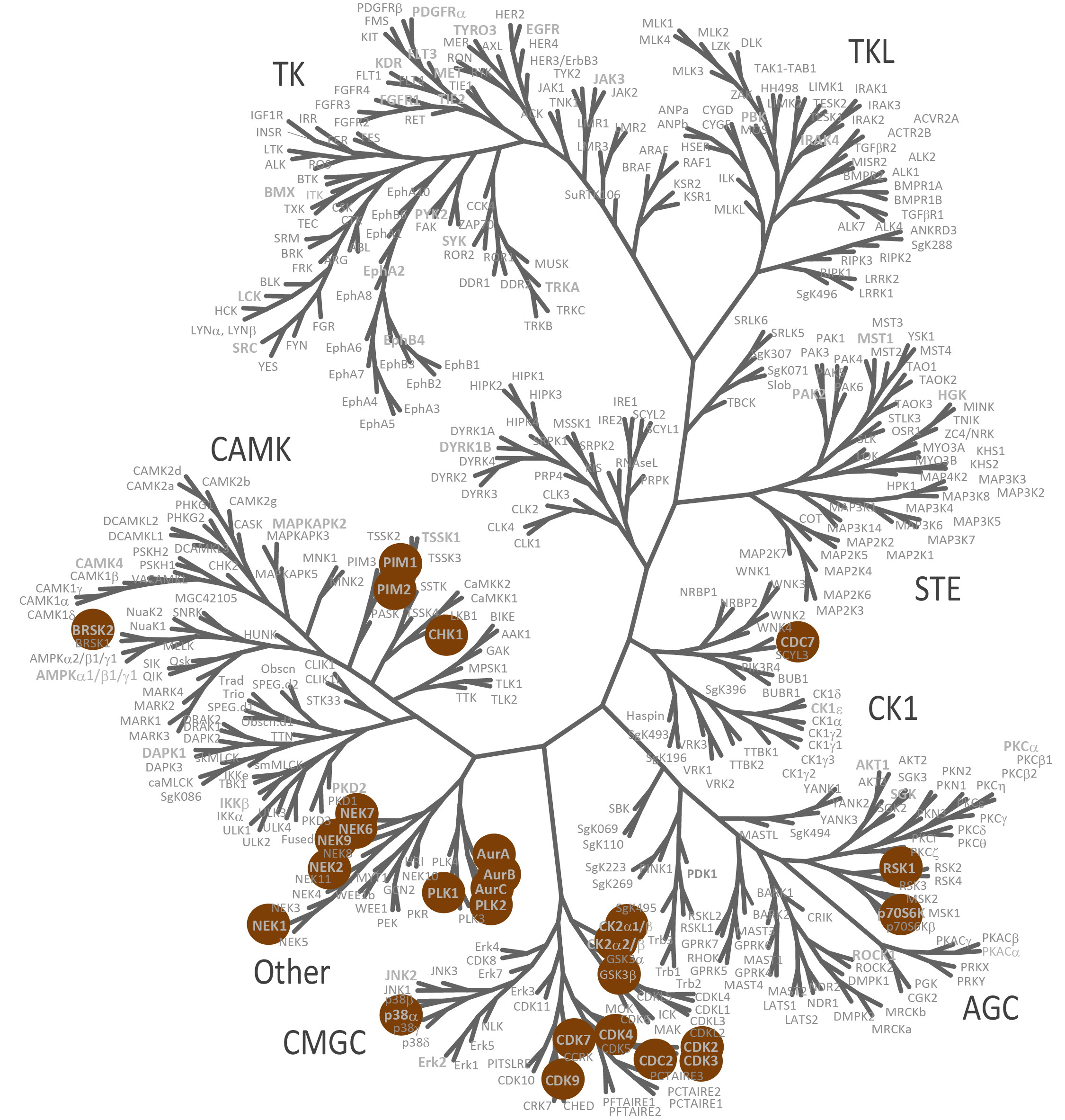 https://www.ntrc.nl/wp-content/uploads/2014/02/Kinome-Tree-Quickscout_Cell-Cycle_2.jpg